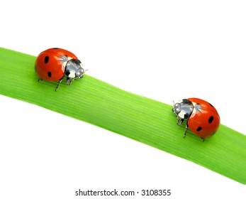Two ladybugs on green leaf isolated  on white