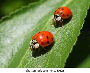 Two Ladybugs on a Leaf