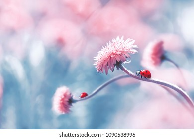 Two ladybugs on a pink spring flower against blue background. Artistic macro image. Concept spring summer. Free space.