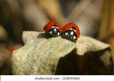 Two ladybugs staying close to each other as a symbol for friendship and partnership, family and marriage