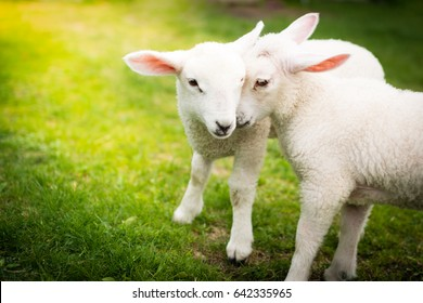 Two lambs cuddling on the grass