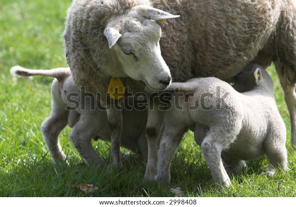 Two lambs exitedly drinking from mom in the meadow early spring