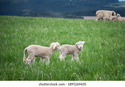 two lambs go side by side