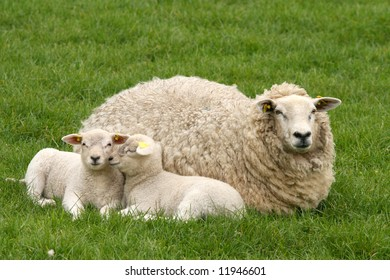 Two lambs and mother sheep laying in the grass