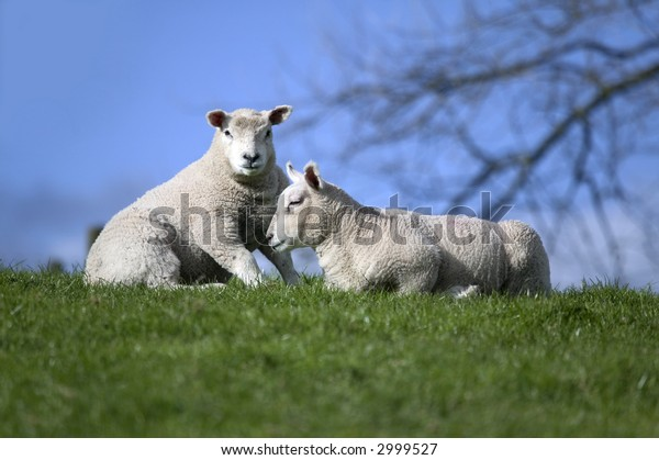 Two lambs on a grass and sky horizon