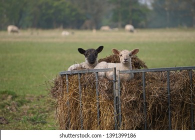 Two lambs resting in a hay hopper on a farm in England, UK