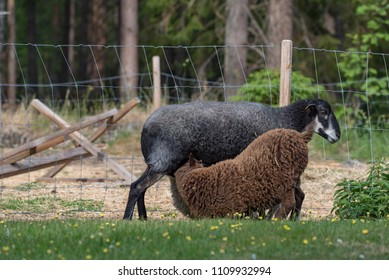two lambs suckling on their mother