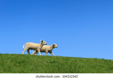 Two lambs walking on a green dike, with a clear, blue sky.
