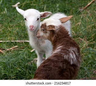 Two lambs (yeanlings, eanlings, cades) of which one is white one and another brown one on a meadow with green grass as a background.