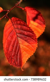 Two lanceolate autumn leaves with jagged edges, coloured red to orange, hanging on a branch, fallen leaves in background
