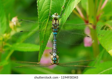Two Lance-tipped Darner Dragonflies mating in the flowery shrubs. High Park, Toronto, Ontario, Canada.