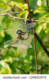 Two Lance-tipped Darner Dragonflies mating on a rusty fence. Brighton Constructed wetlands, Brighton, Ontario, Canada.