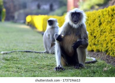 two langur or monkey sitting in garden
