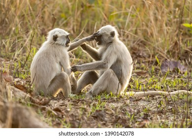 Two langur monkeys indulging in a bit of fisticuffs or play fighting