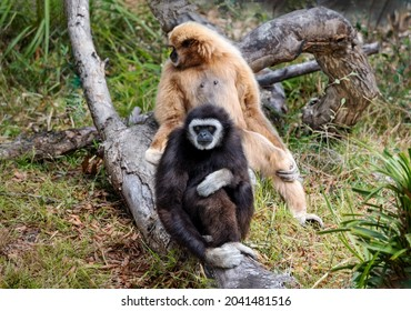 Two lar gibbon (Hylobates lar), also known as white-handed gibbon, seated in a forest. Fur coloring varies from black and dark-brown to light-brown, sandy colors.