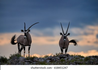 Two large antelopes with spectacular horns, Gemsbok, Oryx gazella, standing on the ridge of the valley against dramatic sunset, wildlife photography, Kalahari desert, South Africa.
