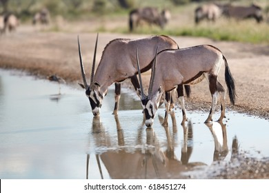 Two large antelopes with spectacular horns, Gemsbok, Oryx gazella, drinking from a puddle. Wild oryx mirroing in the water.  Wildlife photography, Kgalagadi park, Kalahari desert, South Africa.