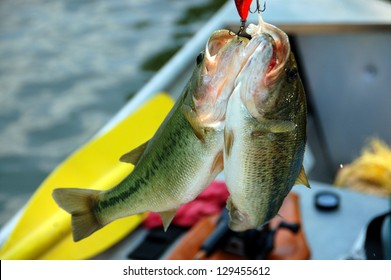 two large bass on one hook closeup