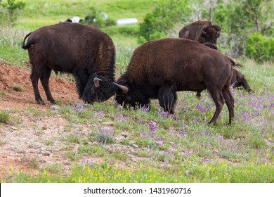 Two large bison bulls locking horns in a display of strength and skill at Custer State Park, South Dakota.