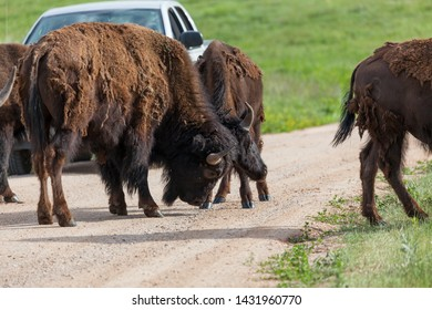 Two large bison bulls locking horns in the middle of a dirt road and stopping traffic in a display of strength and skill at Custer State Park, South Dakota.