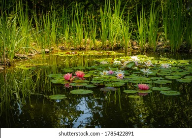 Two large bright pink water lilies or lotus flower Perry Orange sunset in landscape pond. Close-up. Nymphaea is reflected in water. Atmosphere of calm relaxation, happiness and love.