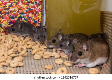 Two large brown house mice, Mus musculus, showing their three offspring how to raid a kitchen pantry cabinet of food.