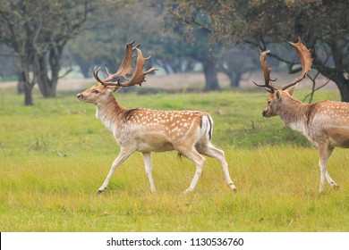 Two large Fallow Deer stags, Dama Dama, fighting during rutting season on a green natural meadow.