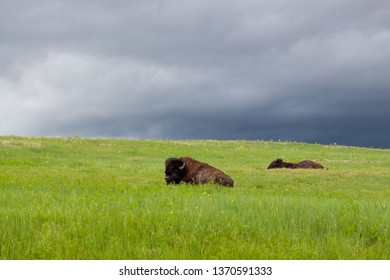 Two large male buffalo or bison are resting on a hillside of green grass and wildflowers with a storm of dark clouds in the distance behind them.