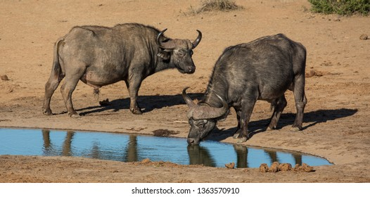 Two large male Cape buffaloes drinking at a waterhole in Africa