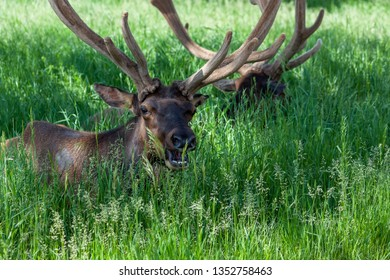 Two large male elk laying in the shade and deep spring grass with tall horns in velvet growing on their heads.