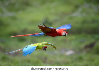 Two large parrots, green and scarlet macaw flying together against blurred green background. Colorful, wild, largest american parrots in natural environment of tropical forest, Central America.