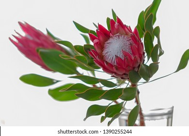 Two large Protea Cynaroides red flowers.