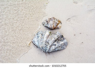 Two large sea shells on the beach