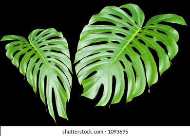 Two large shiny green leaves isolated on black.