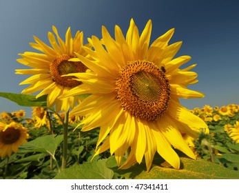 two large sunflowers with bee and pollen on leaves in the field