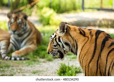 Two large tiger on a background of green grass