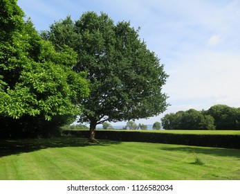 Two Large trees on farmhouse lawn in Southern Denmark