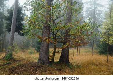 Two large trees surrounded by fog in the dark mystical forest. Nationalpark Harz mountains, Germany