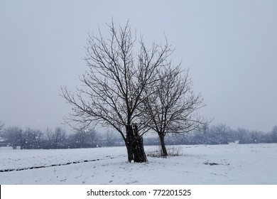 Two large trees without leaves in winter snow with new falling snow covering grass around them and trees in background