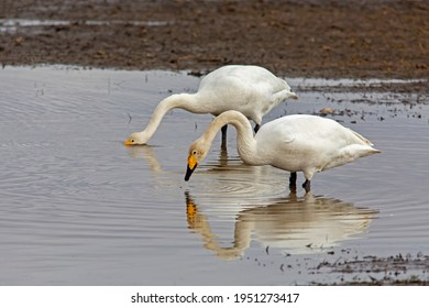 Two large white birds,  whooper swan, Cygnus cygnus standing together and resting in the water during their spring migration to the north