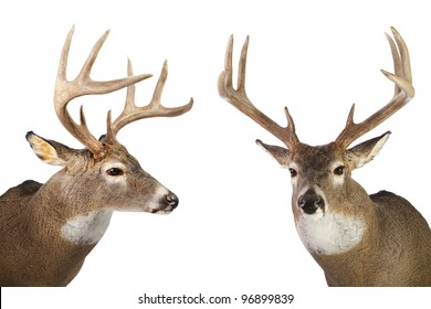 Two large whitetail bucks isolated on white background