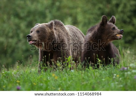 Two large bears