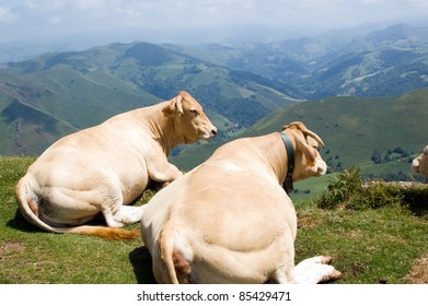 two lazy cows in mountains of pyrenees, France