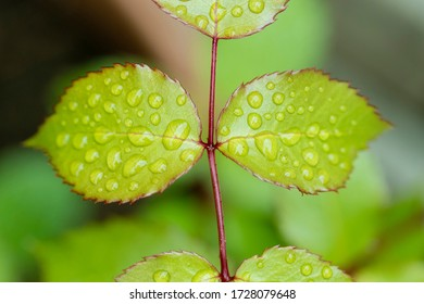 Two leafs covered with raindrops