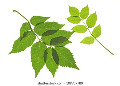 Two leaves of the ordinary ash (Fraxinus excelsior), against a white background