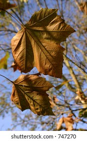 Two leaves ready to fall on a clear day.