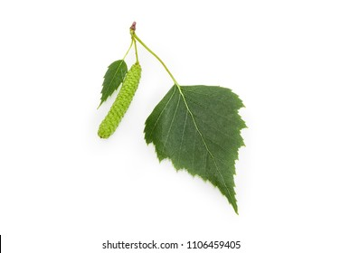 Two leaves of the silver birch different sizes and catkin closeup on a white background