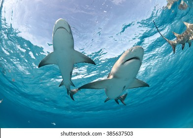 Two lemon sharks swimming overhead with the sky clearly visible through the surface of the water.