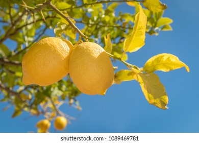 Two lemons on a lemon tree in Andalucia, Spain. The sky is a clear blue sky on a hot summer day.