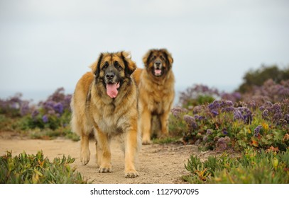 Two Leonberger dogs outdoor portrait standing in field
